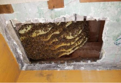 Honey Bee Removal & Relocation